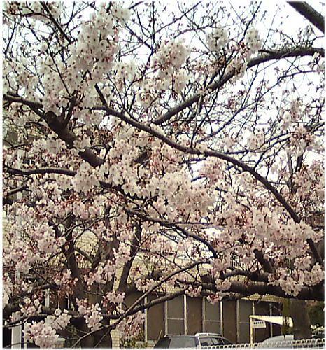 南知多内海冨歯科医院の桜