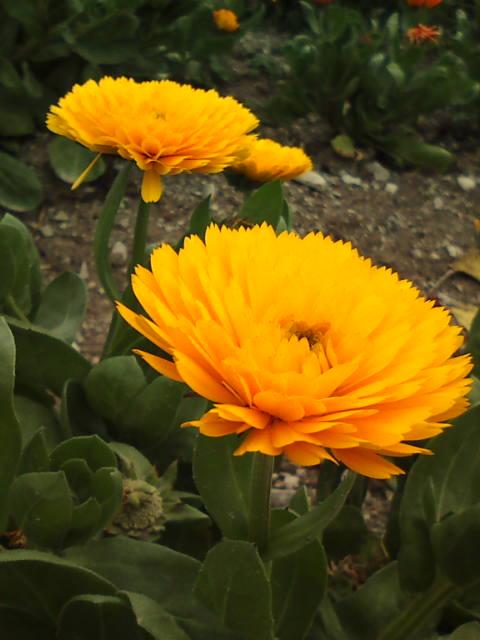 花ひろばのキンセンカ