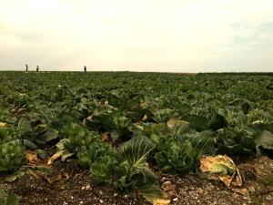 キャベツ畑1