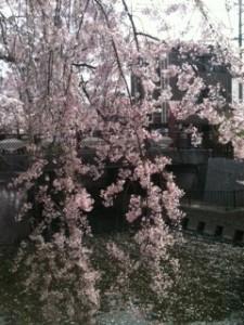 岩倉五条川の桜1